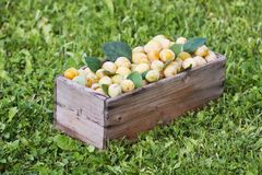 Yellow plums with green leaves. Fresh ripe fruits in wooden box on green grass. In summer garden stock images