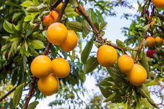 Yellow plums growing on tree. In the garden Stock Image