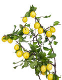 Yellow plums hang on the branches Stock Photos