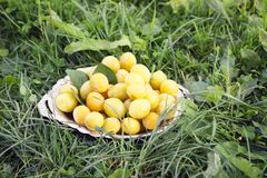Yellow plums in a plate on green summer grass. Background royalty free stock photo