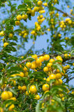 Yellow plums Royalty Free Stock Photos