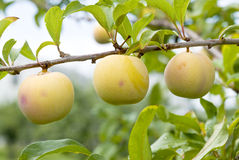 Yellow Plums Ripening on the Tree Royalty Free Stock Photography