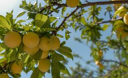 Yellow plums in sunny day on blue sky stock photo