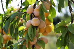 Yellow plums on a tree branch stock photography