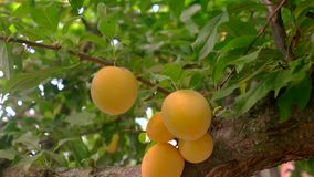 Yellow plums on tree branch. Fruits and leaves. Garden in summertime. Ingredient for tasty jam stock video