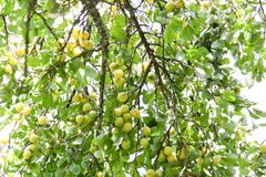 Yellow plums on tree branches in summer garden. Seasonal sweet ripe fruits. Yellow plums on tree branches in summer garden. Seasonal sweet ripe fruits stock photo