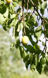 Yellow plums on tree branches in summer garden. Seasonal sweet ripe fruits. Yellow plums on tree branches in summer garden. Seasonal sweet ripe fruits royalty free stock images