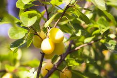 Yellow plums on tree branches in summer garden. Seasonal sweet ripe fruits. Yellow plums on tree branches in summer garden. Seasonal sweet ripe fruits stock photos