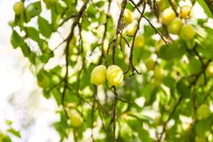 Yellow plums on tree branches in summer garden. Seasonal sweet ripe fruits. Yellow plums on tree branches in summer garden. Seasonal sweet ripe fruits stock images