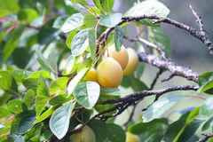 Yellow plums on tree branches in summer garden. Seasonal sweet ripe fruits. Yellow plums on tree branches in summer garden. Seasonal sweet ripe fruits royalty free stock image
