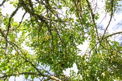 Yellow plums on tree branches in summer garden. Seasonal ripe fruits. Yellow plums on tree branches in summer garden. Seasonal sweet ripe fruits royalty free stock images