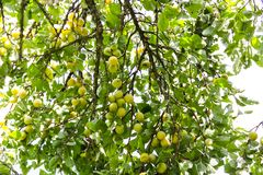 Yellow plums on tree branches in summer garden. Seasonal ripe fruits. Yellow plums on tree branches in summer garden. Seasonal sweet ripe fruits stock photos
