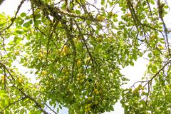 Yellow plums on tree branches in summer garden. Seasonal ripe fruits. Yellow plums on tree branches in summer garden. Seasonal sweet ripe fruits stock images