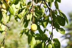 Fresh yellow plums. royalty free stock photos