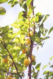 Yellow plums on branches in summer garden. Seasonal sweet ripe fruits royalty free stock photography