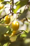 Yellow plums on branches in summer garden. Seasonal sweet ripe fruits. Yellow plums on tree branches in summer garden. Seasonal sweet ripe fruits royalty free stock photo