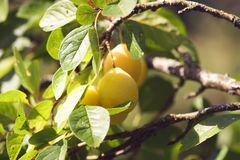 Yellow plums on branches in summer garden. Seasonal sweet ripe fruits. Yellow plums on tree branches in summer garden. Seasonal sweet ripe fruits royalty free stock photography