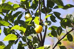 Yellow plums on branches in summer garden. Seasonal sweet ripe fruits stock images
