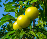 Yellow plums. On a tree in the garden royalty free stock image