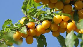 Yellow plums on the tree stock footage