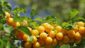 Yellow plums on the tree stock video footage