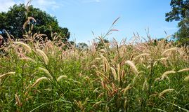 Yellow poaceae flower in the garden. With blue sky Royalty Free Stock Photography