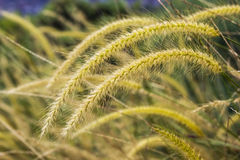 Yellow Poaceae grass flower. In field Royalty Free Stock Photos