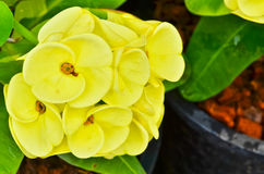 Yellow Poi Sian flowers blooming Stock Photography