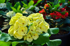 Yellow Poi Sian flowers Royalty Free Stock Photos