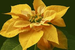 Yellow Poinsettia Blossom. Close up of December`s Birth-flower - a Yellow Poinsettia Blossom on a dark background Royalty Free Stock Photos