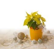 Yellow Poinsettia  Euphorbia pulcherrima Stock Photos