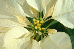 Yellow poinsettia plant Stock Images