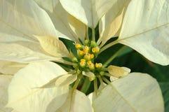 Yellow poinsettia plant Stock Images