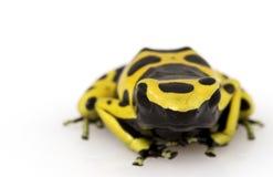 Yellow Poison Arrow Frog. (Dendrobates leucomelas) on white background Stock Images