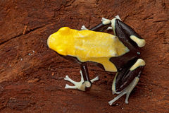 Yellow poison arrow frog. Poison dart frog yellow back dendrobates tinctorius in the Amazon rainforest this poisonous animal lives from tropical rain forest of royalty free stock photography