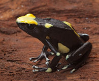 Yellow poison arrow frog. Poison dart frog yellow back dendrobates tinctorius in the Amazon rainforest this poisonous animal lives from tropical rain forest of royalty free stock images