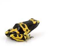 Yellow Poison Arrow Frog (Dendrobates leucomelas) Stock Photography