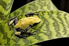 Yellow poison dart frog Brazil Rain forest stock image
