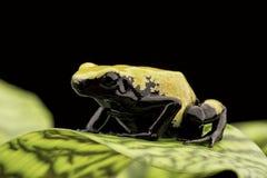Yellow poison dart frog Brazil Rain forest stock photo