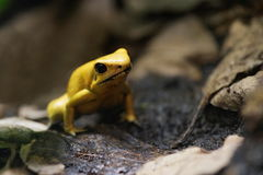 Yellow poison frog Royalty Free Stock Images