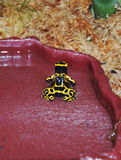 Yellow poisonous frog Royalty Free Stock Photo