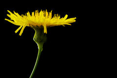 Yellow poisonous wildflower on black as sonchus arvensis. Yellow poisonous wildflower on black background as sonchus arvensis Stock Images