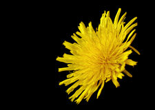 Yellow poisonous wildflower on black as sonchus arvensis. Yellow poisonous wildflower on black background as sonchus arvensis Royalty Free Stock Images