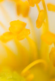 Yellow pollen on a flower in nature Royalty Free Stock Photography