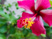 Yellow pollen grains on a pink hibiscus flower stock images