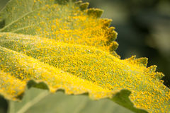 Yellow pollen on green leaf. Yellow pollen of sunflower falling on green leaf Royalty Free Stock Photo