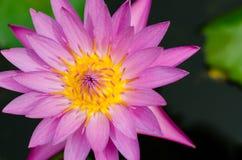Yellow Pollen of Magenta Lotus Blooming. Central pollen of blooming lotus Royalty Free Stock Image