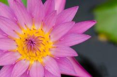 Yellow Pollen of Magenta Lotus Blooming. Close-up yellow pollen of blooming lotus in pond Royalty Free Stock Image