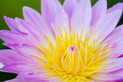 Yellow pollen of the pink lotus Stock Photography