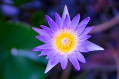 Yellow pollen in purple or violet lotus Stock Photography